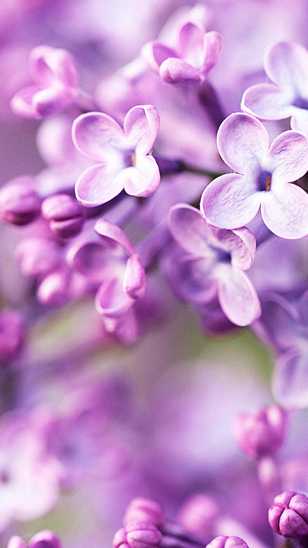 Purple Flowers in Full Bloom iPhone 6 Background