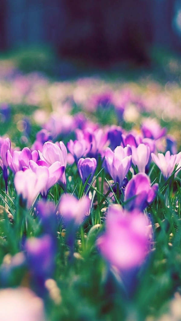 Purple Narcissus Flower iPhone 5s Background