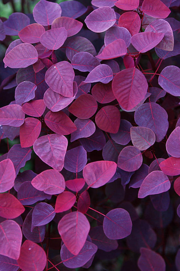 Red Purple Leaves Background For iPhone