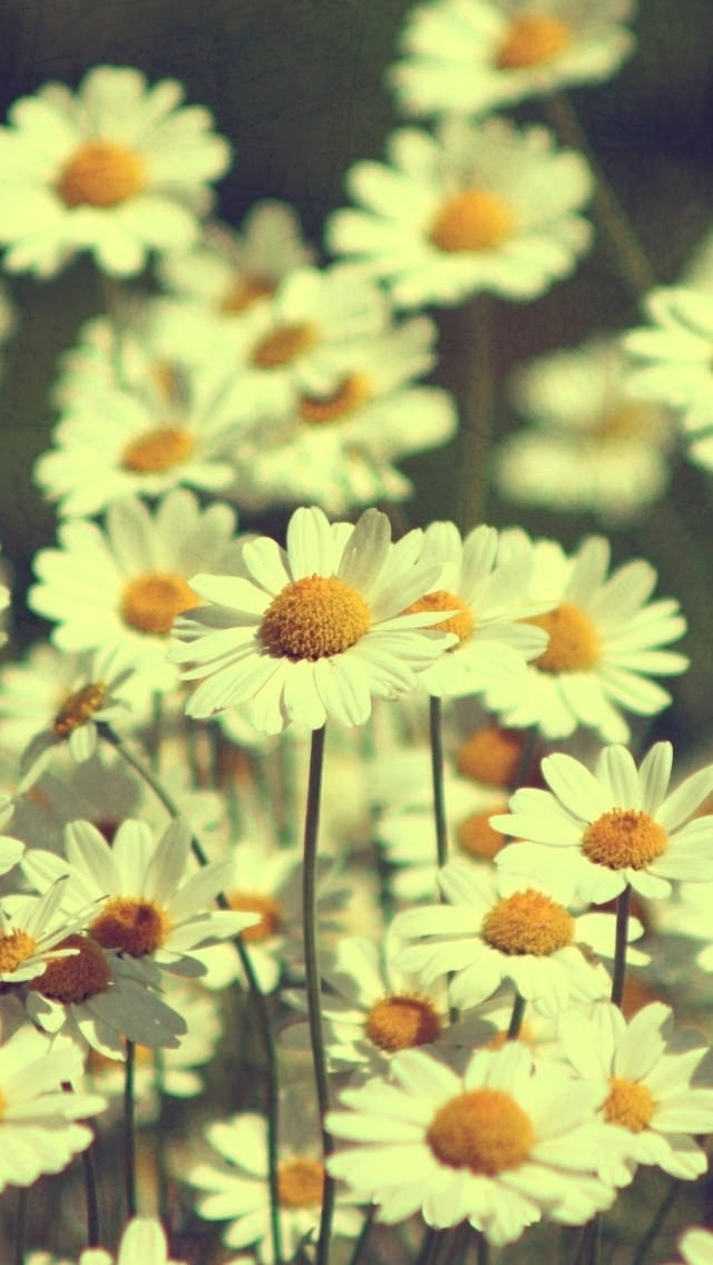 Vintage Dasies iPhone Wallpaper