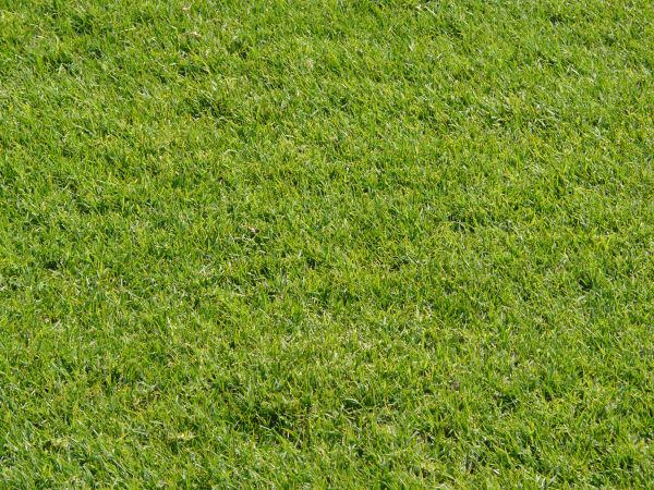 Well Maintained Seamless Grass Texture