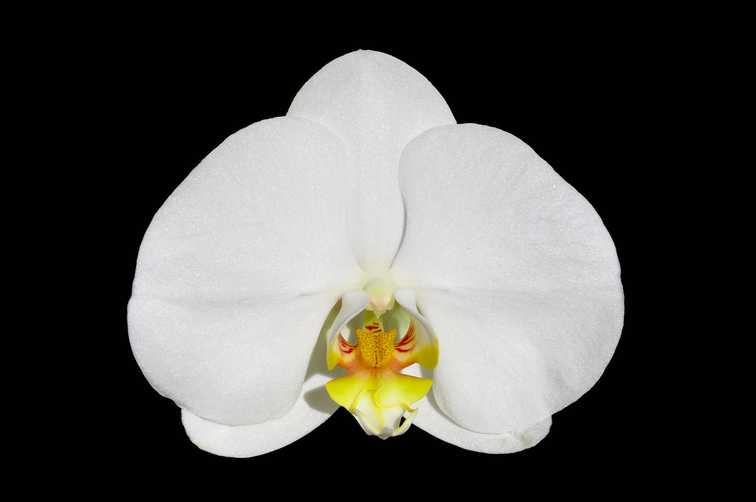 White Moth Orchid in Black Background