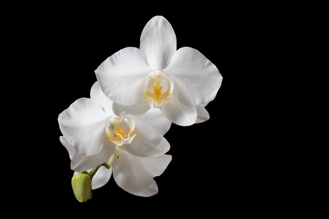 White Orchids in Black Background