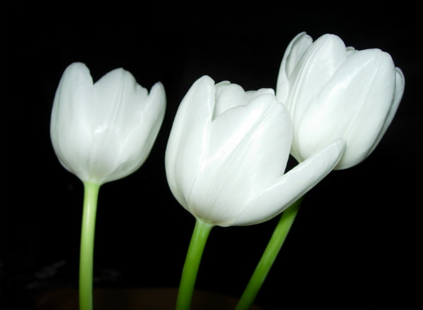 White Tulips in Black Background
