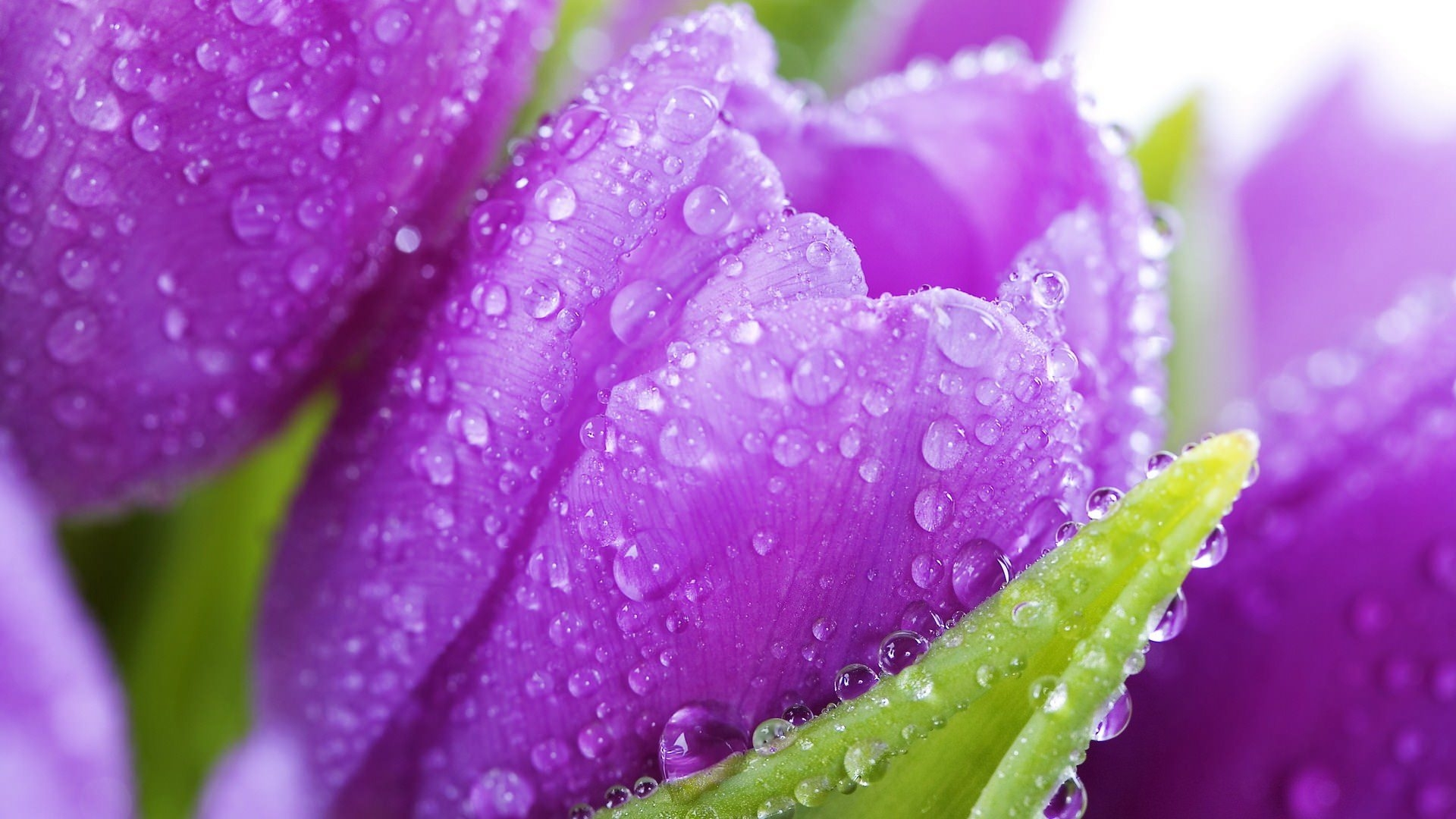 Cute Purple Tupils Flower Background