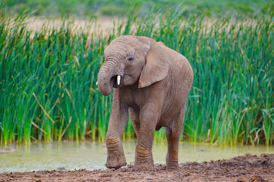 African Elephant Background For Free