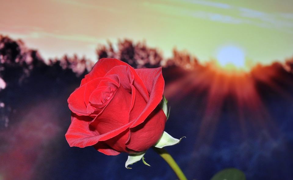Amazing Red Rose Flower Background