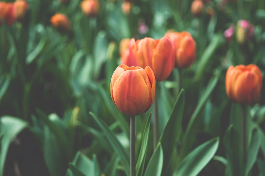 Amazing Tumblr Tulip Flowers Background