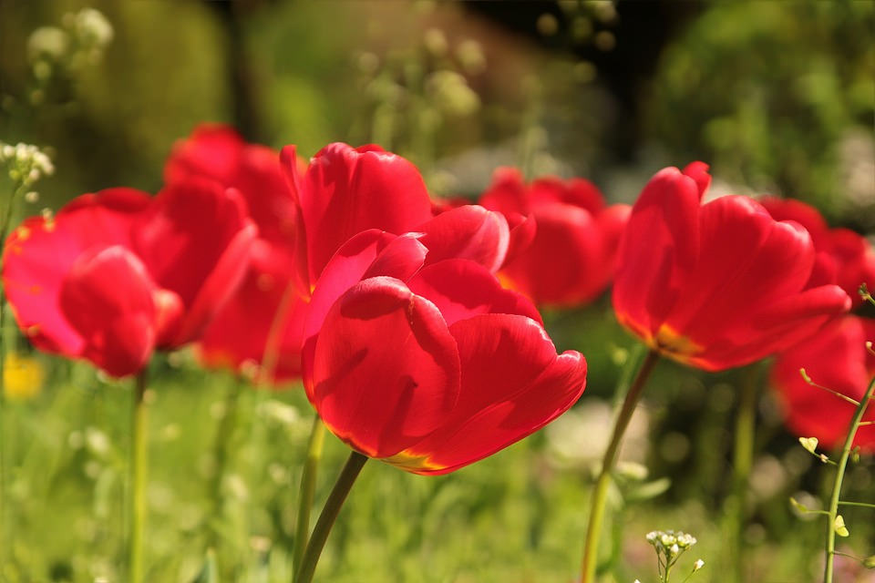 Awesome Red Tulip Flowers Background