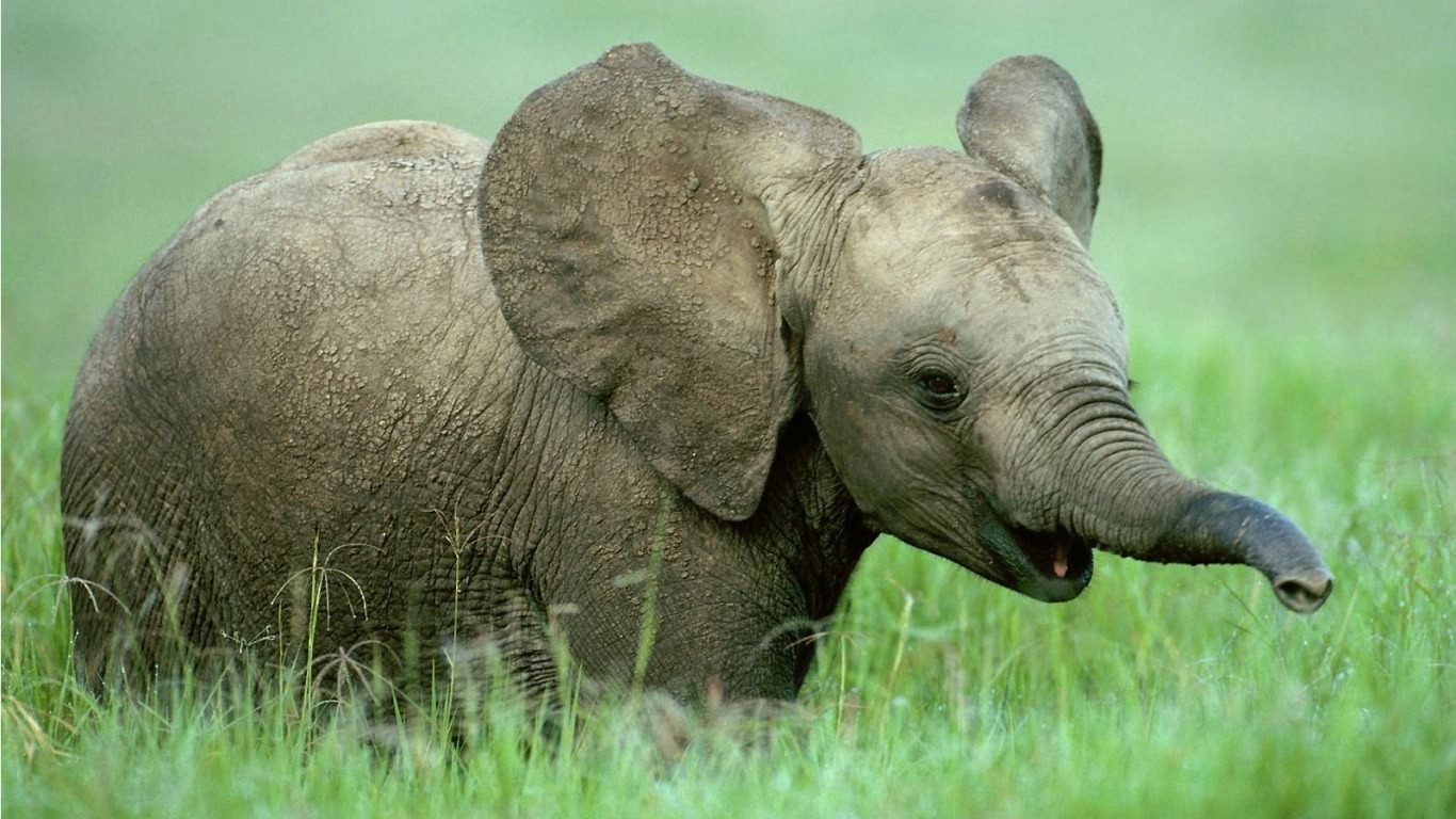 Baby Elephant background For Free