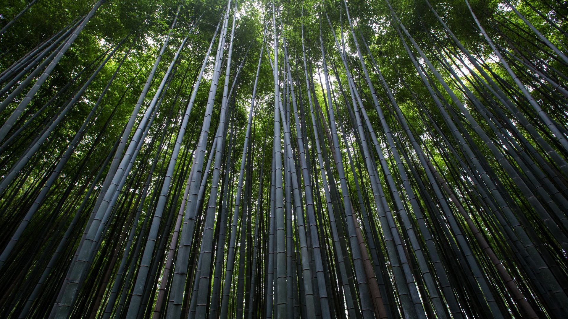 Bamboo Forest Background For Free