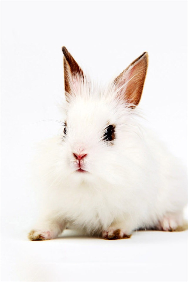 Beautiful Rabbit in White Background For iPhone