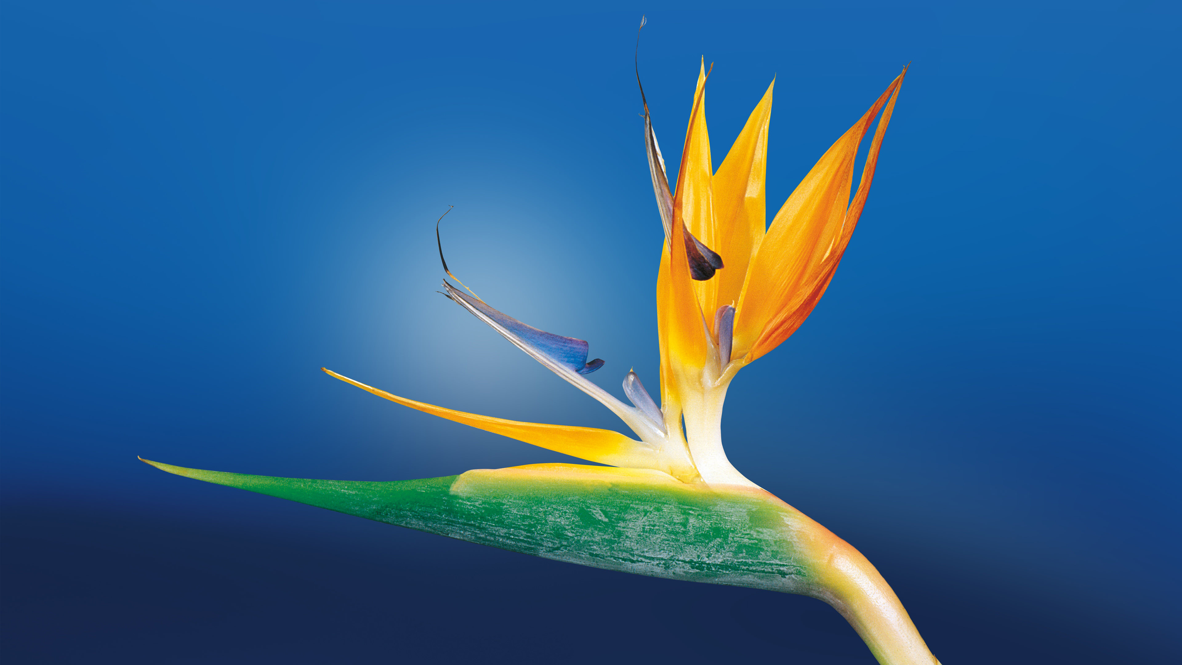 Bird of Paradise Cool Flower Background