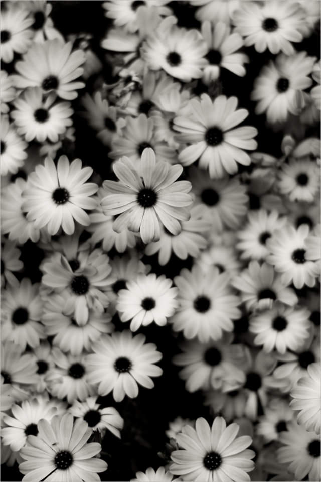 Black & White Flowers Background For iPhone