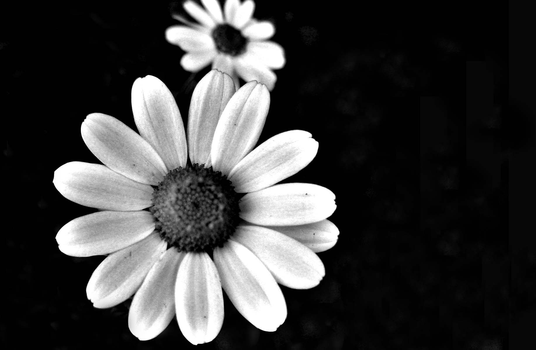as well Black and White Flower Wallpaper in addition  together with  likewise  furthermore 1c784dbfdaae4e74fd2c38d0256b108f besides  in addition 14a4d375baaf83f6309599031de3674e in addition flori de colorat p06 also 80153234 o together with Chrysanthimum  no fly. on daisies roses flowers coloring pages