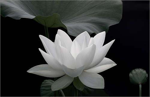 Black and White Lotus Flower Wallpaper