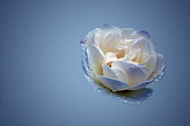 Blue & White Rose Background