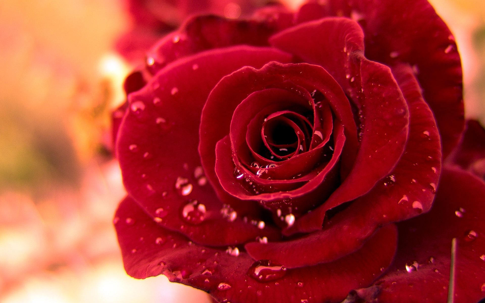 Cool Background of Red Rose Flower