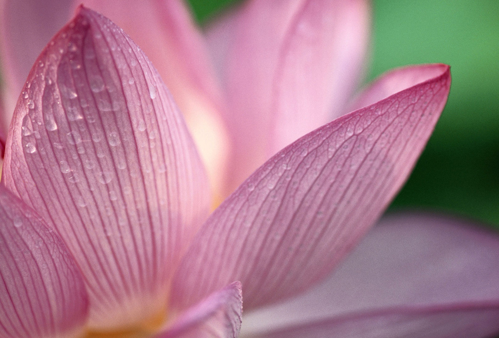 Cool Lotus Flower Background