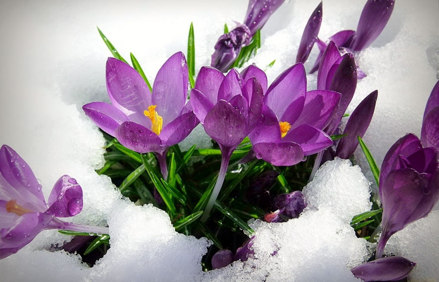 Cute Crocus Flower Background