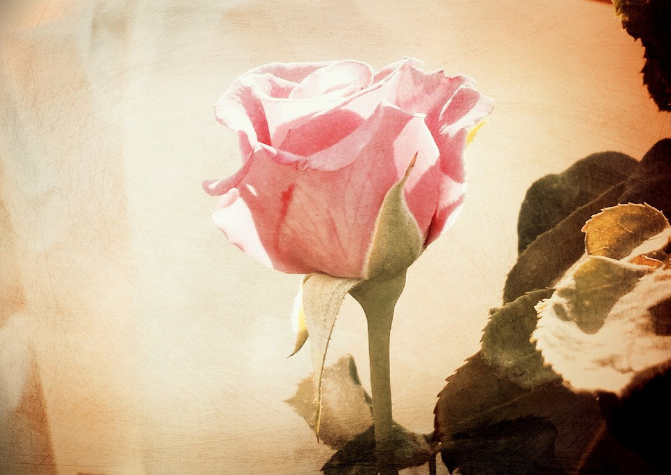 Cute Pink Rose Background