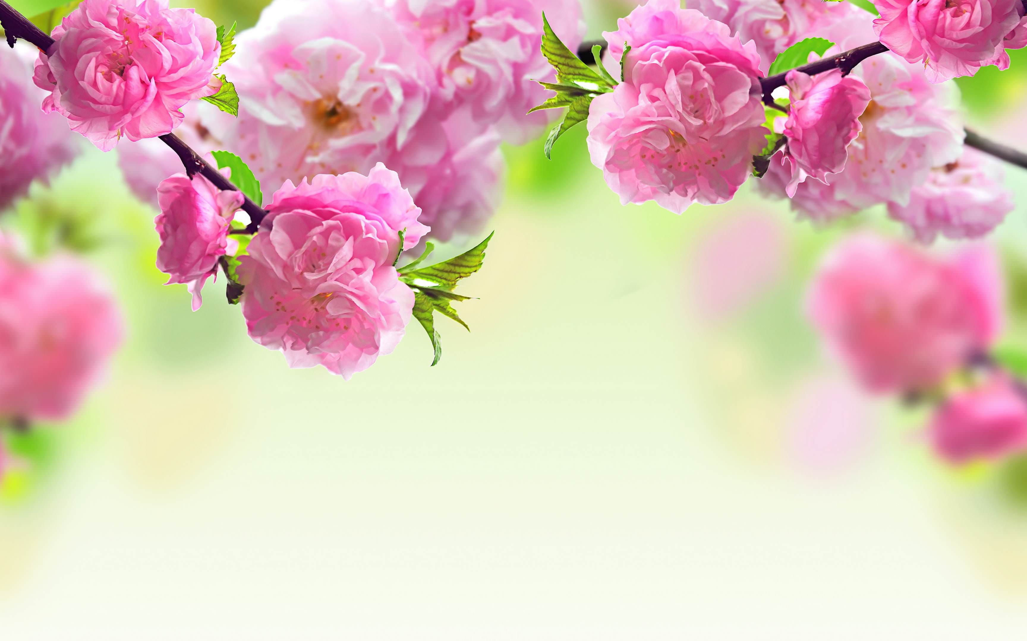 Cute Pink Rose Flower Background