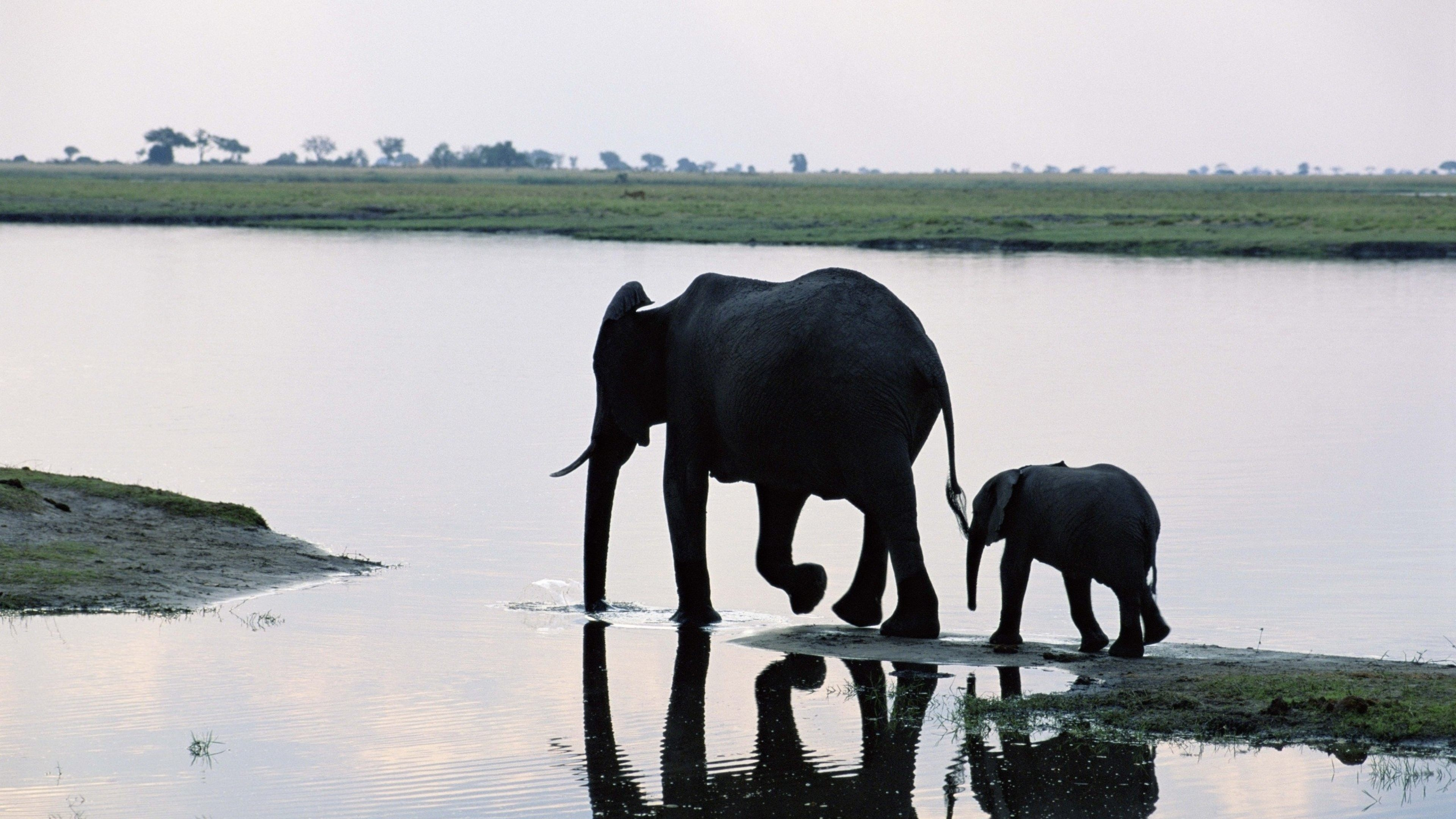 Elephant Water Walk backgroound For Free