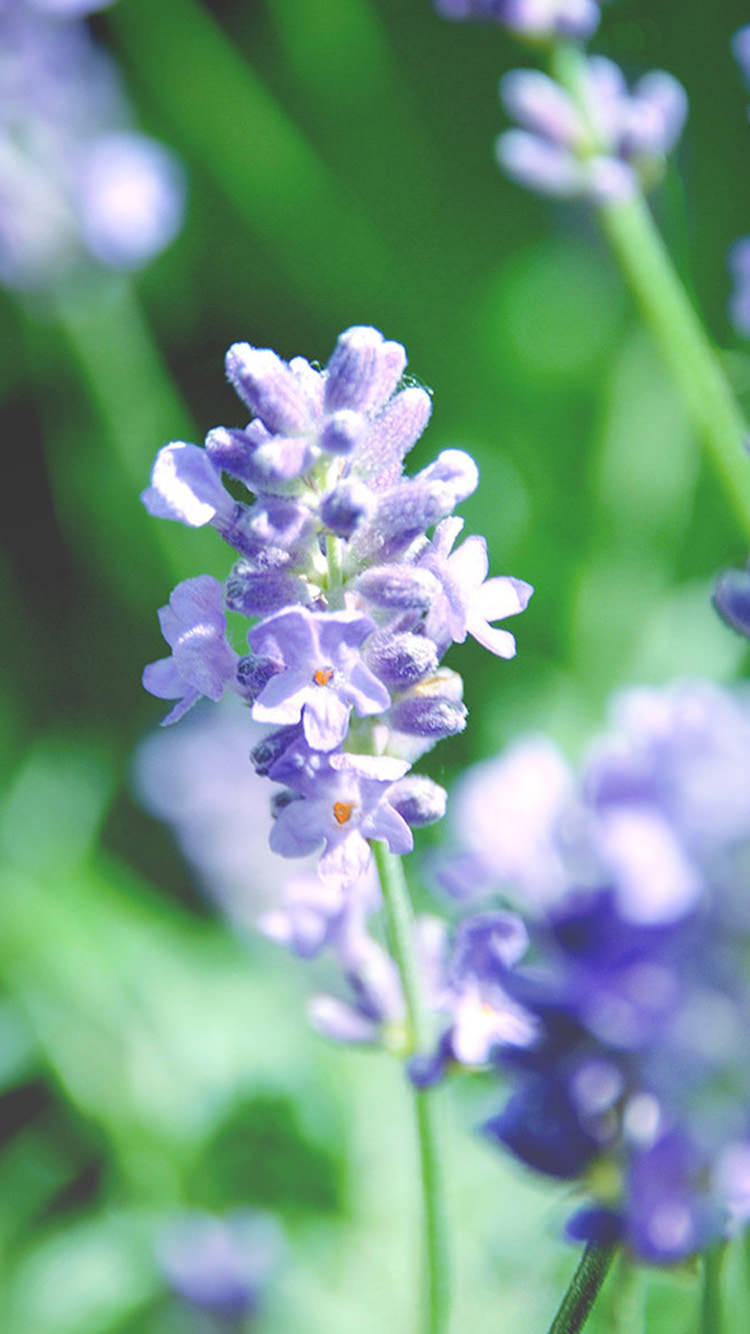 Free Fresh Lavender iPhone Background For You