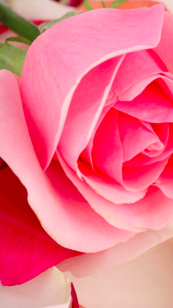 Free Pink Rose Background For iPhone 5c