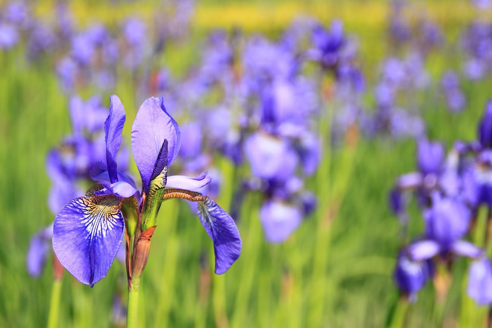 Free Purple Meadow Flowers Background