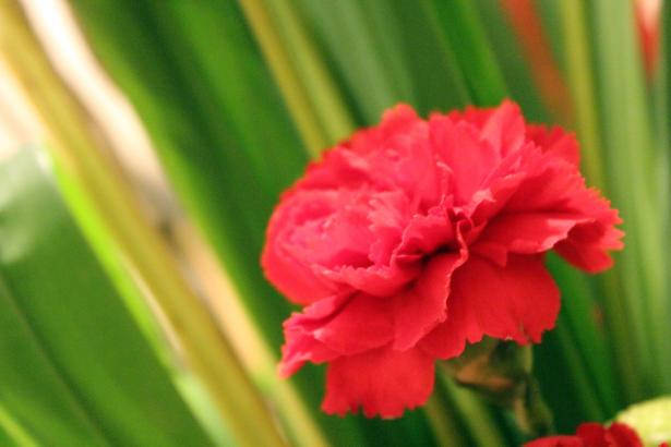 Free Red Flower Background For You