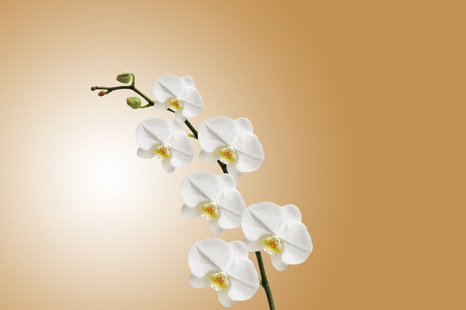 Free White Orchid Flower Background
