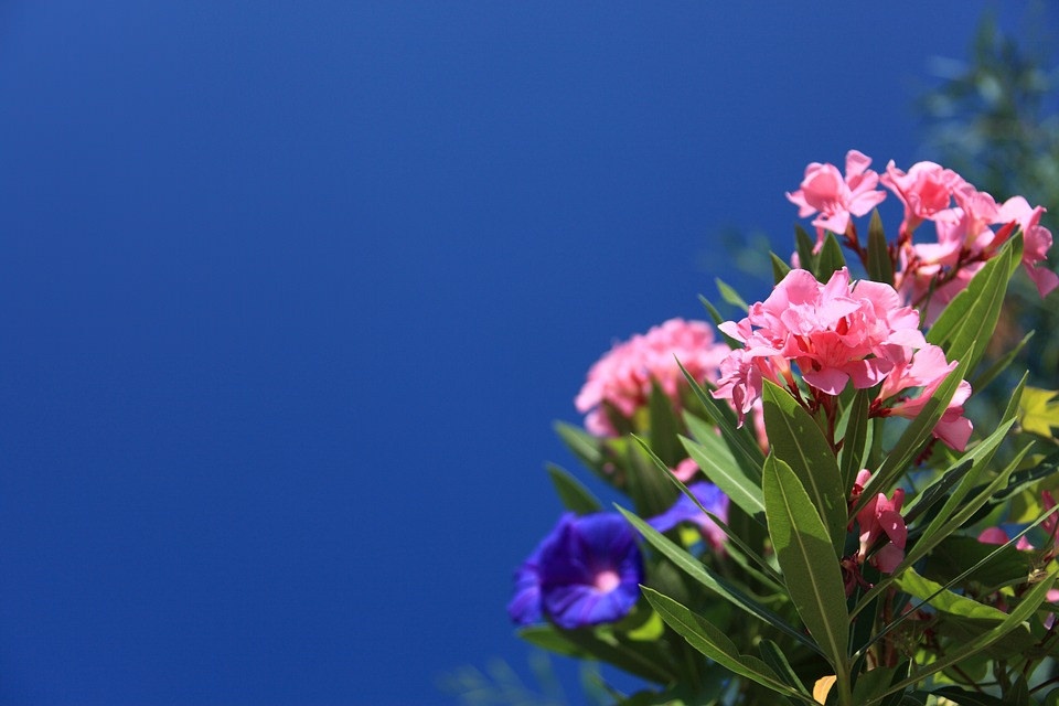 Oleander Flower Under Blue Sky Background