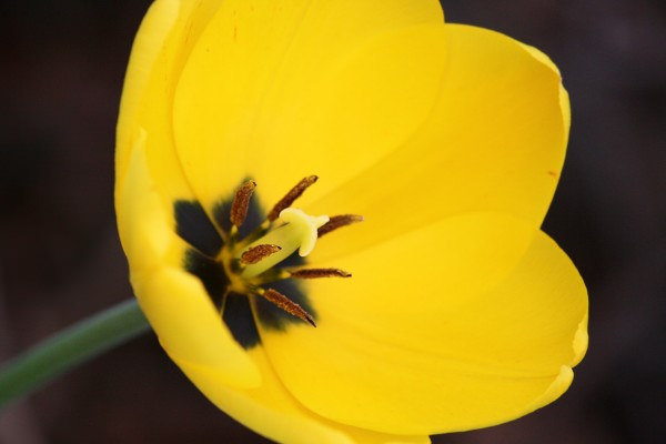 Open Yellow Tulip Flower Background