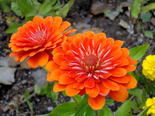 Orange Zinnia Flowers Tumblr Background