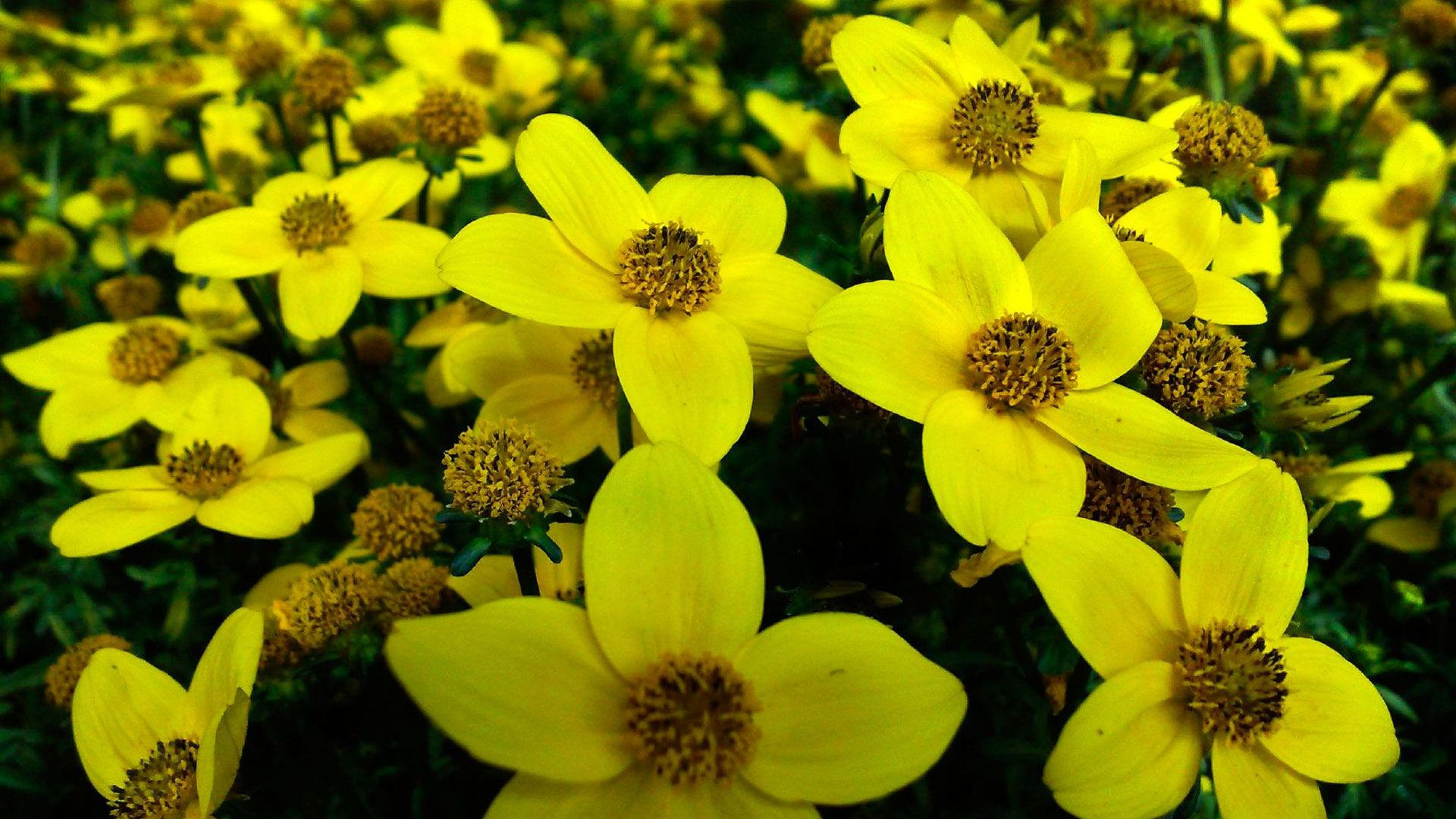 Pretty Yellow Flowers Background