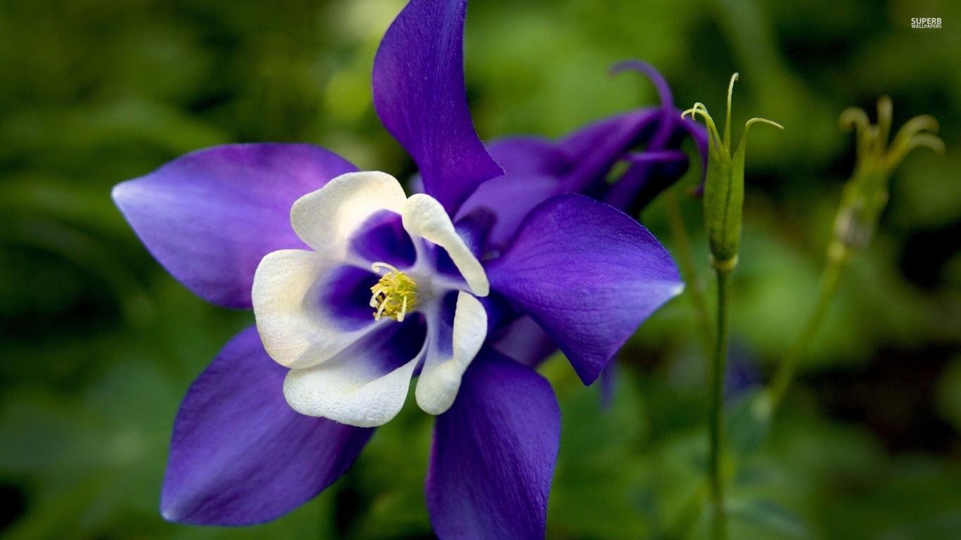 Purple Columbine Flower Background