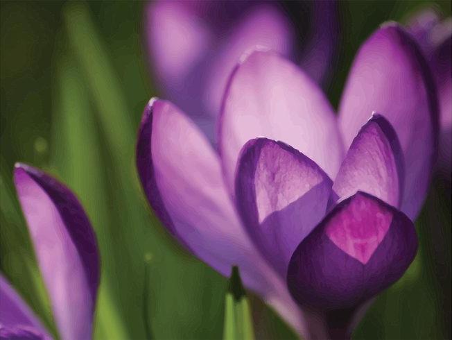 Purple Crocus Flowers Background