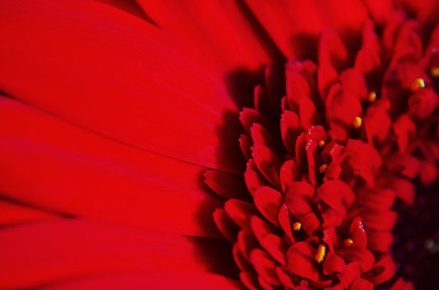 Red Flower Background For Free Download