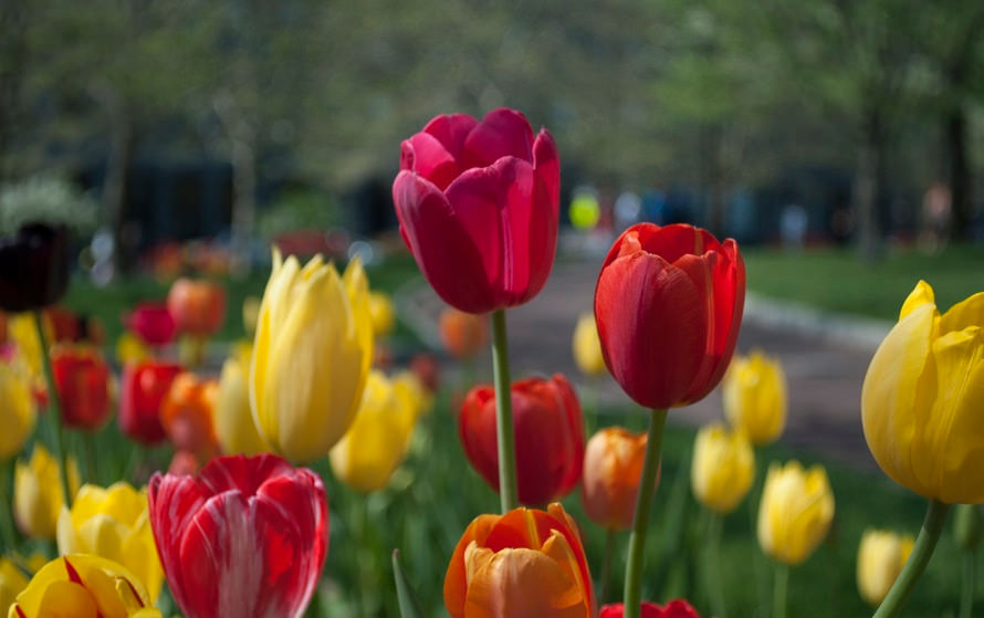 Red & Yellow Tulip Flowers Background