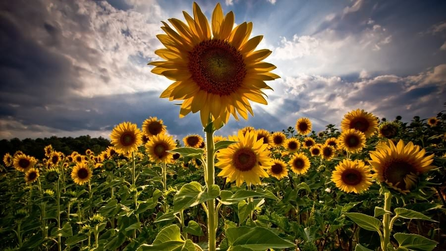 Fotografije suncokreta Rising-SunFlower-Background-For-Free-