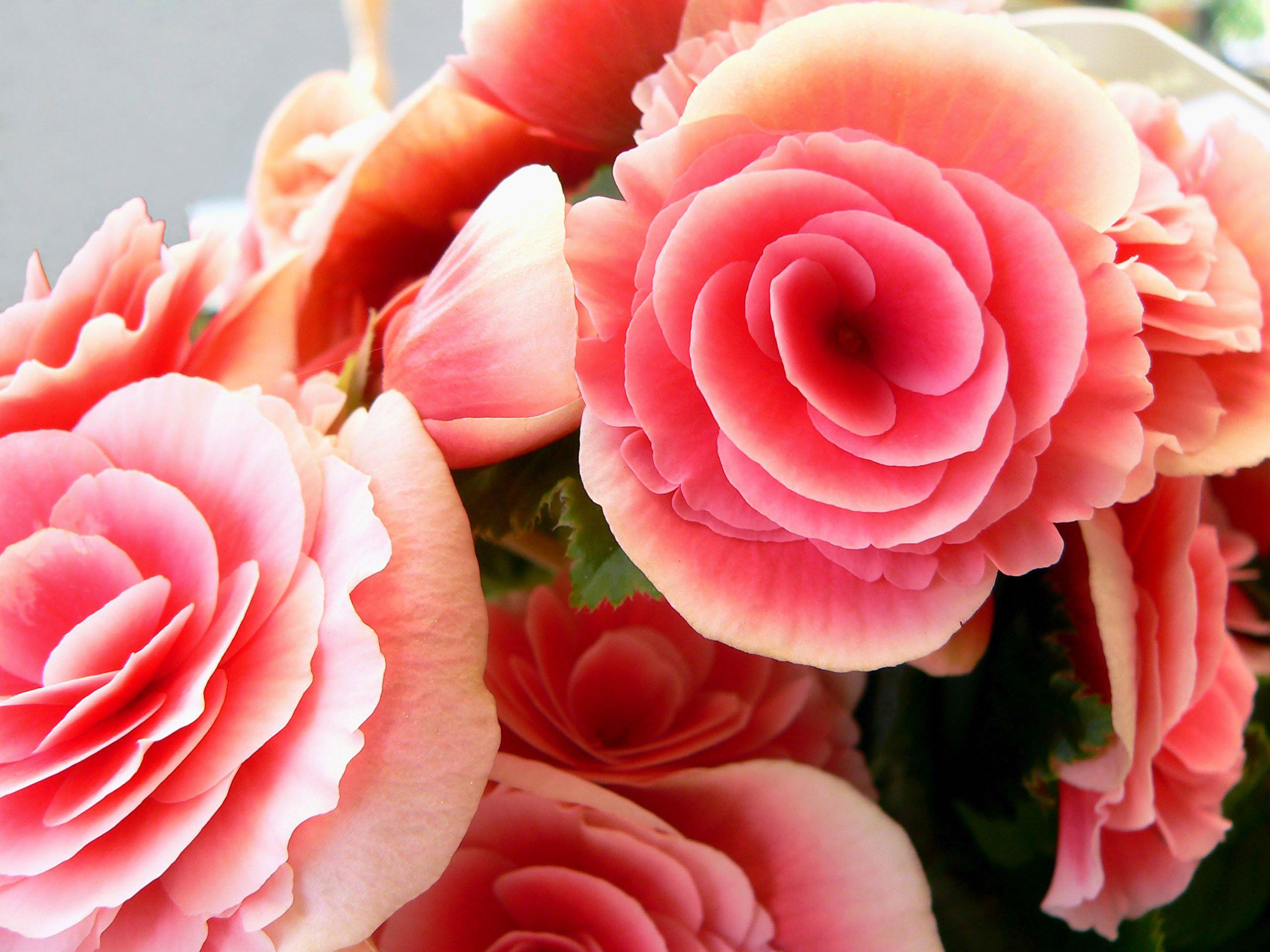 Rose Flower background wallpaper