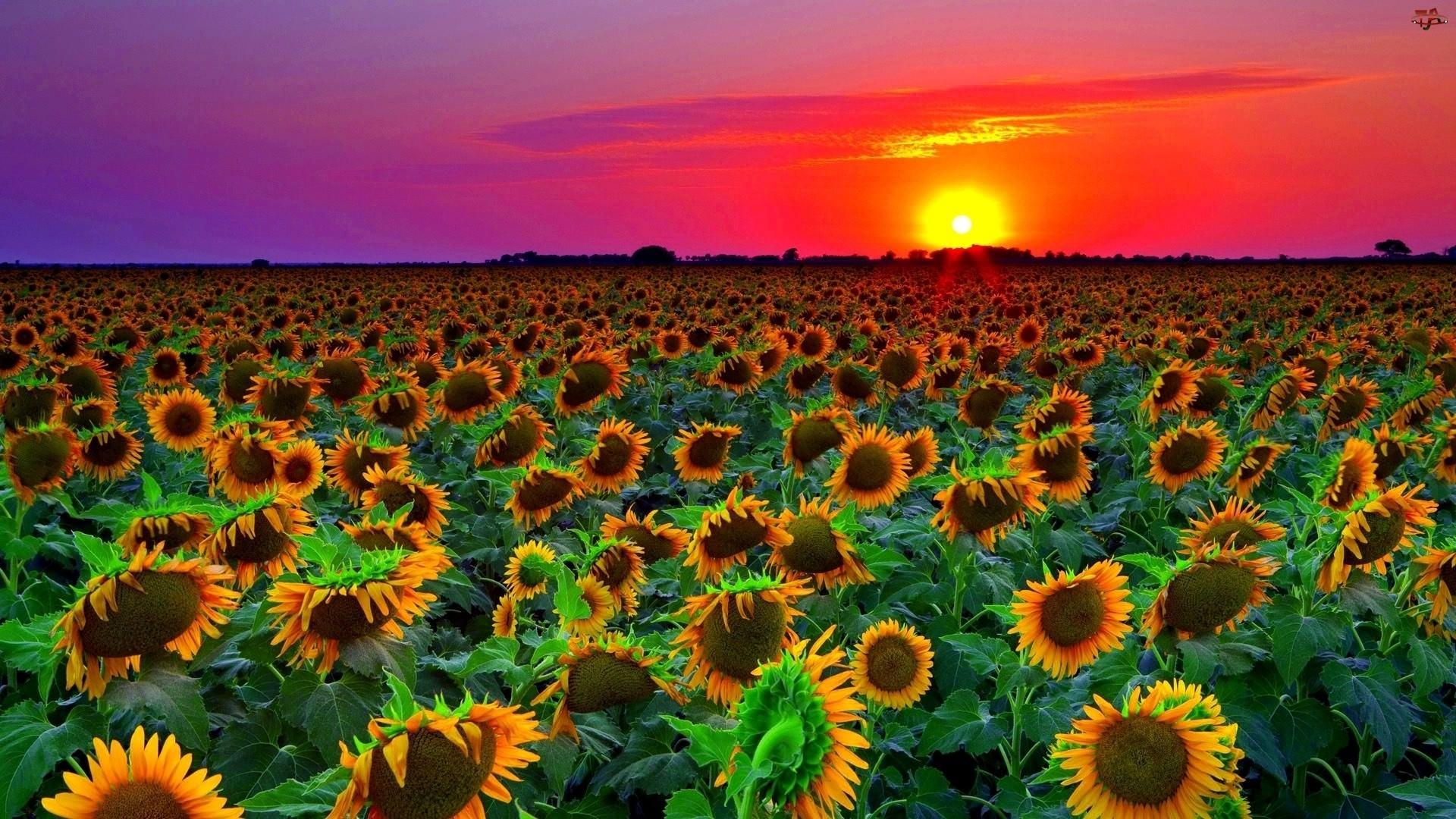 Fotografije suncokreta SunFlower-Field-Sunset-Background-For-Free-