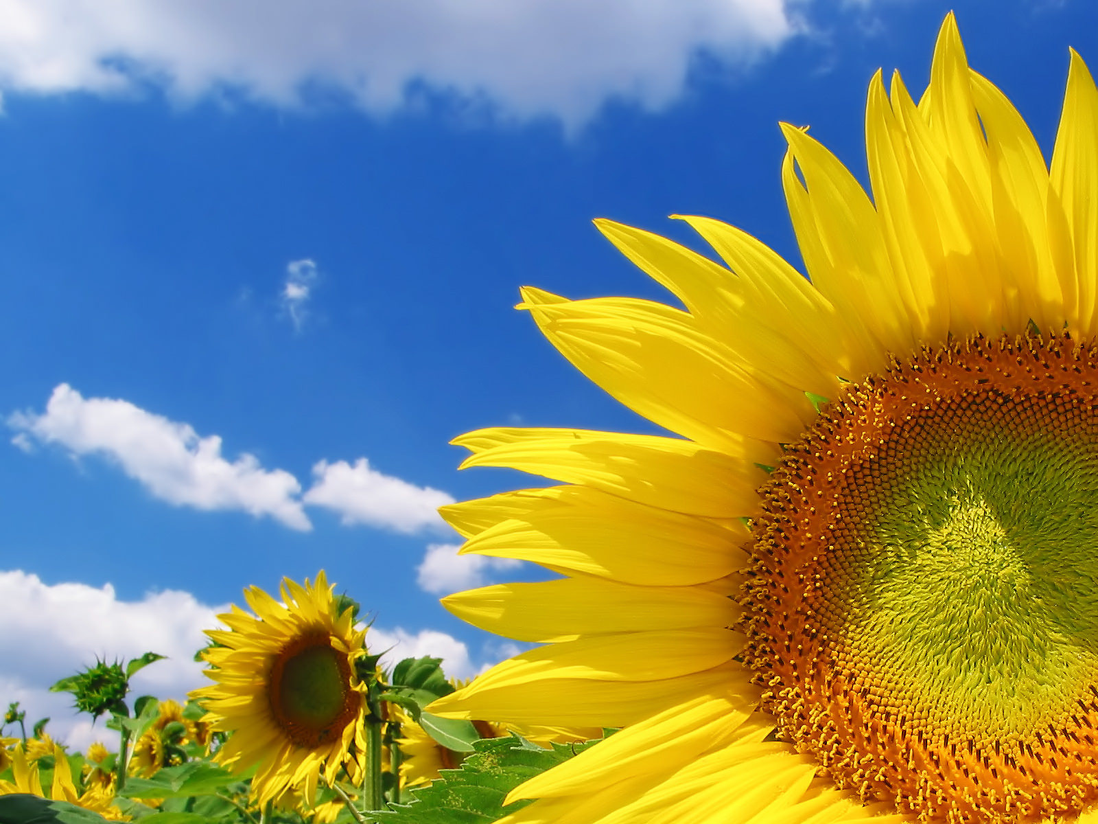 Sunflower Background For Download