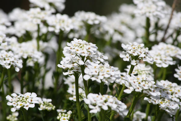 Sweet Alyssum White Flowers Background