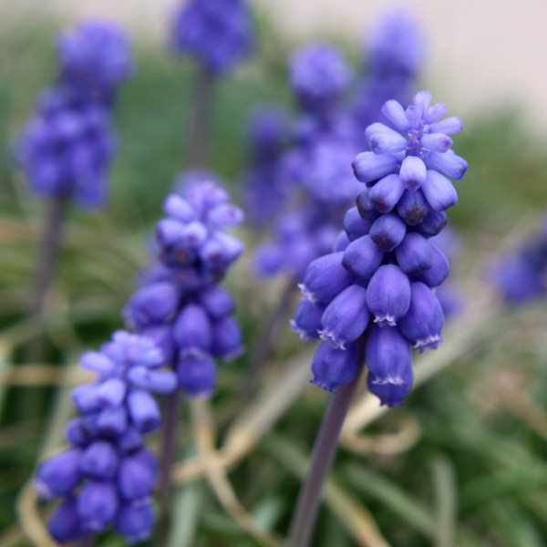 Tumblr Grape Hyacinth Flowers Background