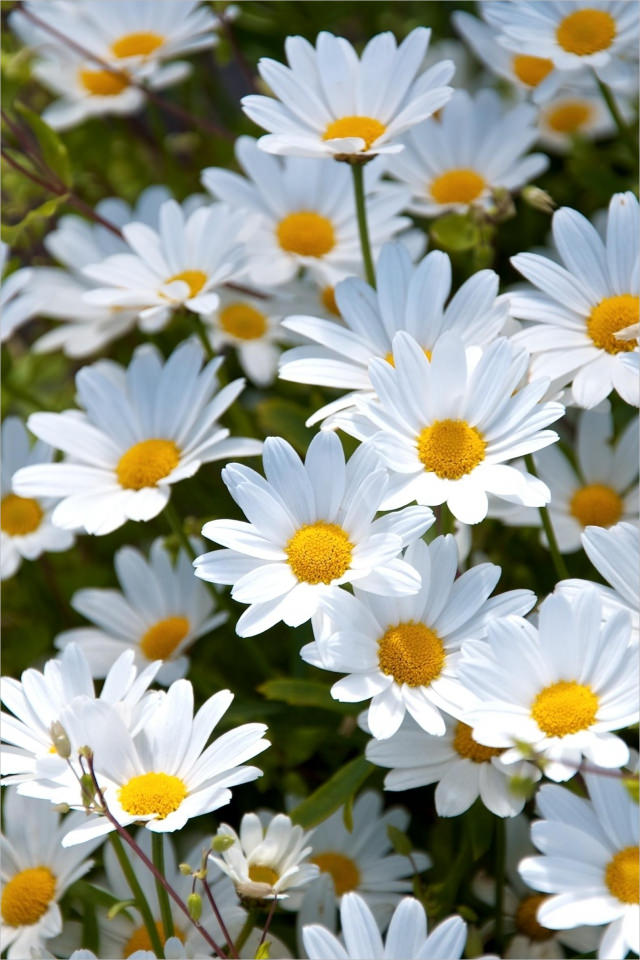 White Daisies Background For iPhone For Free