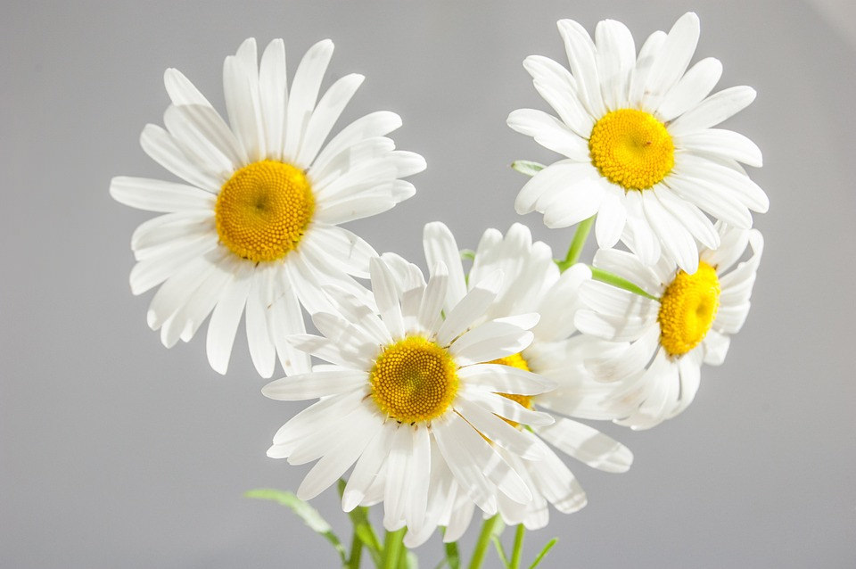 White Daisies Flower Background