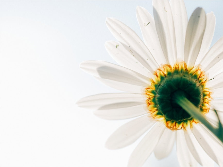 White Daisy Petals Flower Background