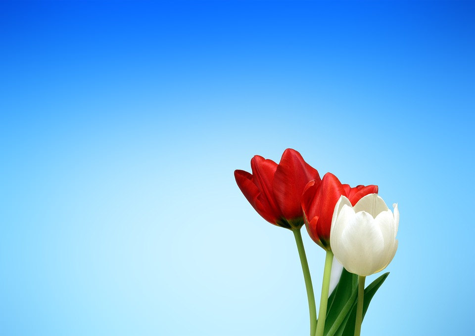 White & Red Tulip Flowers Background